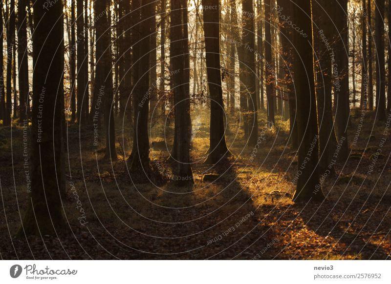 Sonnenuntergang im herbstlichen Wald Natur Herbst Zufriedenheit Idylle nachhaltig Umwelt Umweltschutz Mischwald Waldboden Waldspaziergang Waldlichtung Baum