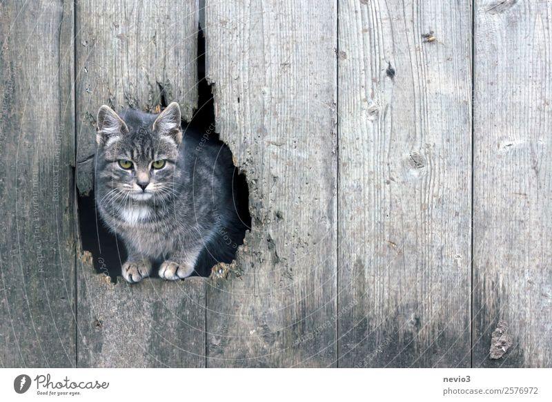 Getigerte Katze blickt durch ein Scheunentor Tier Tierjunges Wand Holz klein grau weich Hauskatze Haustier Loch böse Langeweile Tiergesicht Pfote Motivation
