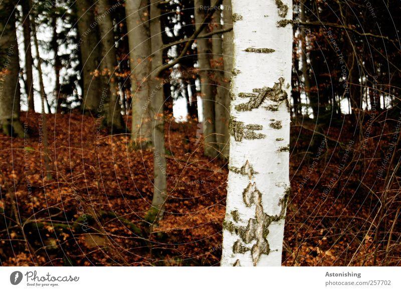 weißer Stamm Umwelt Natur Landschaft Pflanze Erde Wetter schlechtes Wetter Baum Sträucher Blatt Wald hell braun schwarz Birke Baumstamm Ast Geäst Baumrinde