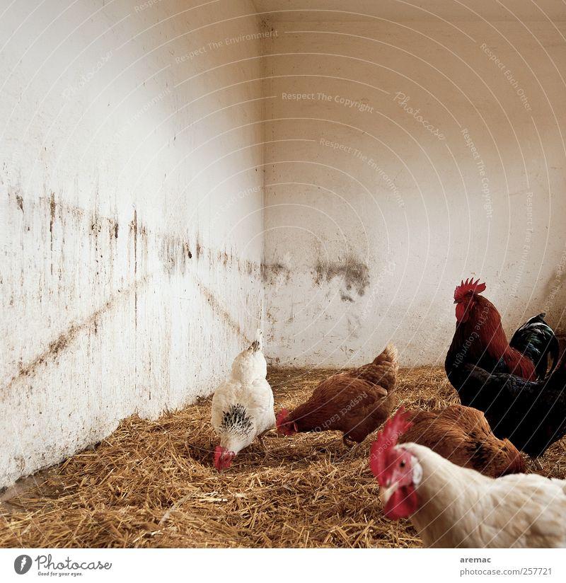 Eier-WG Mauer Wand Tier Nutztier Huhn Hahn Tiergruppe Fressen füttern laufen weiß Farbfoto Gedeckte Farben Innenaufnahme Menschenleer Textfreiraum oben Tag
