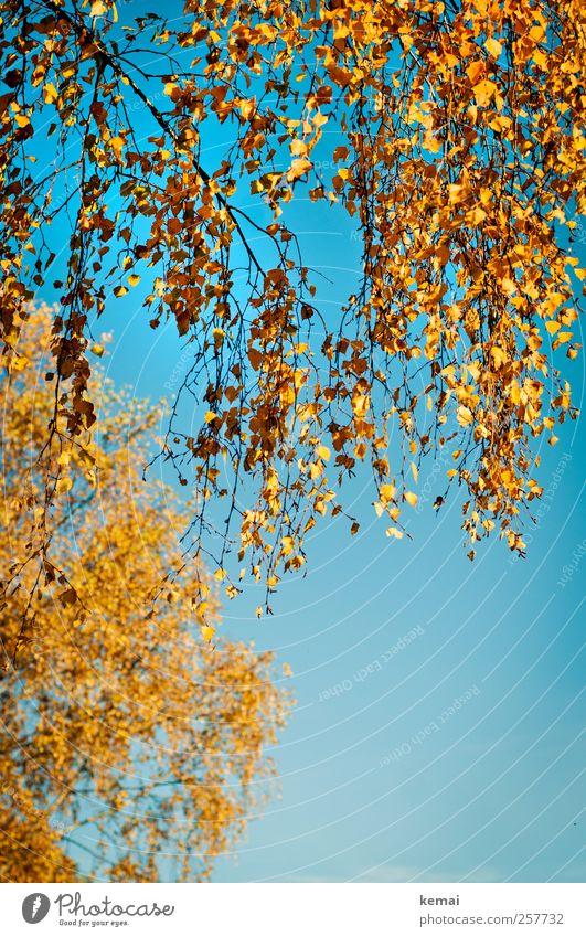 Birkenblätter Natur blau Baum Pflanze Blatt gelb Herbst Umwelt orange gold Wachstum leuchten Ast Schönes Wetter Zweig hängen