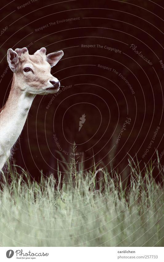 Was kommt? grün Tier braun Wildtier Neugier Erwartung Reh