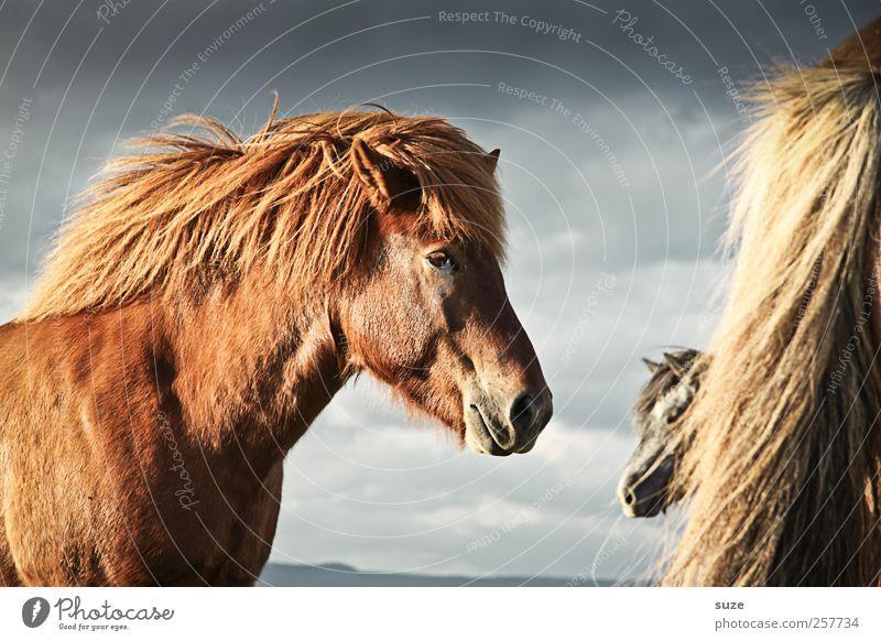 Ruhe im Sturm Umwelt Natur Landschaft Tier Himmel Wolken Wind Fell Nutztier Wildtier Pferd Tiergesicht 3 Herde stehen warten ästhetisch Freundlichkeit natürlich