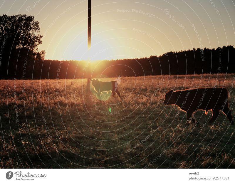 Mastvieh Strommast Umwelt Natur Landschaft Pflanze Tier Wolkenloser Himmel Horizont Sonne Sommer Klima Schönes Wetter Wärme Baum Gras Sträucher Wiese Wald Weide