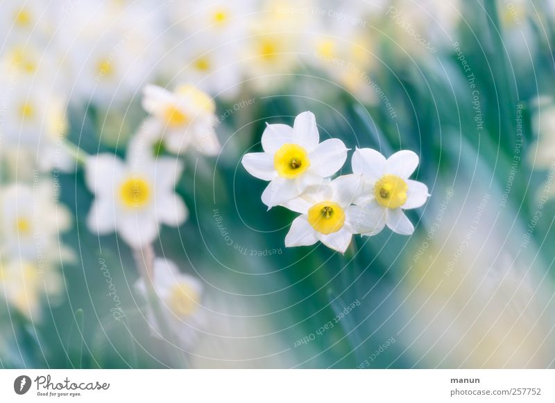 Ostern kann kommen Natur schön Blume Frühling Blüte natürlich authentisch Narzissen Gelbe Narzisse Feste & Feiern