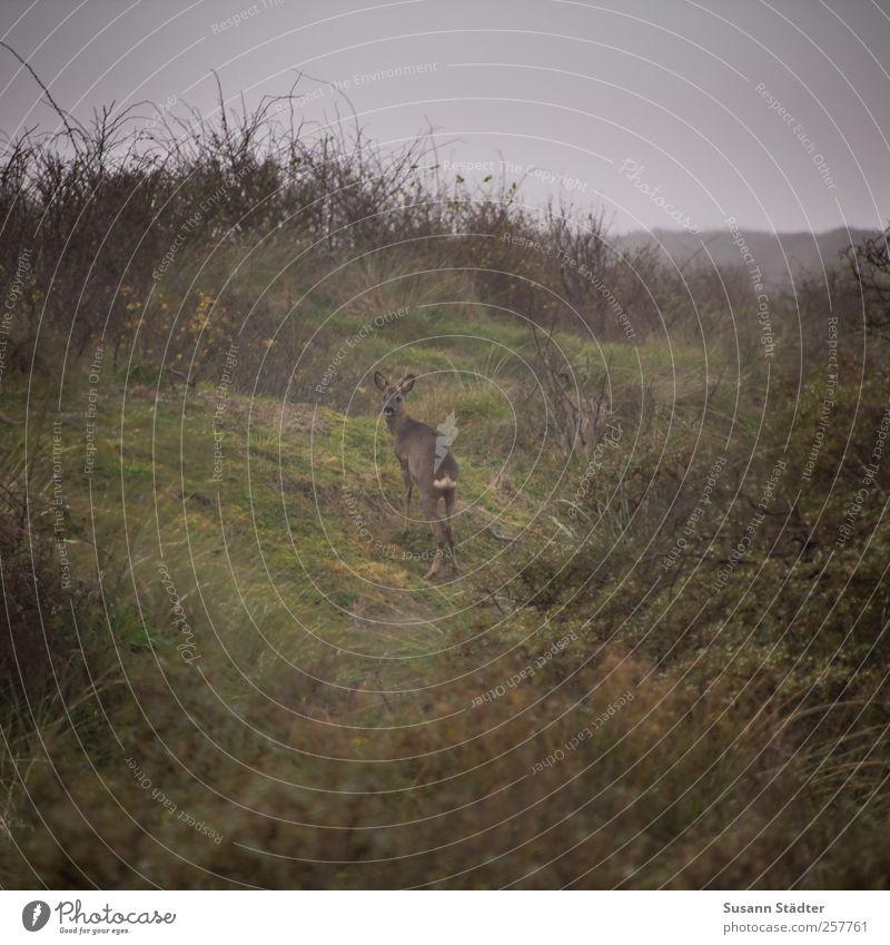 Insulaner   Spiekeroog ruhig Tier Freiheit Tierjunges Wildtier stehen Sträucher bedrohlich beobachten Wachsamkeit Interesse Spiekeroog Reh Schüchternheit geduldig bescheiden