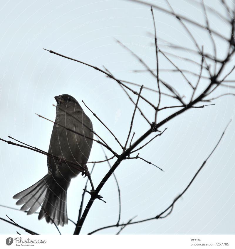 schwungvoll Natur blau Tier Umwelt grau Vogel sitzen Wildtier Sträucher Feder Zweig Spatz