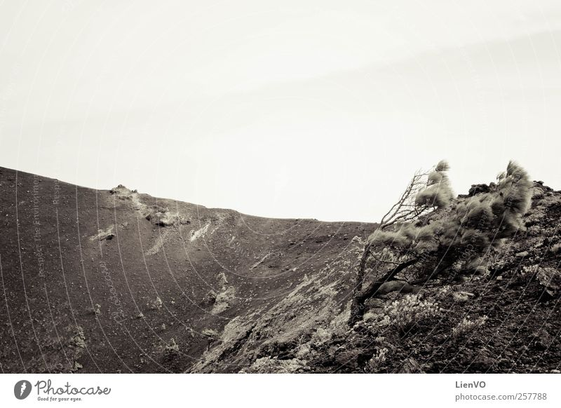 Windgepeitschter Baum Natur Landschaft Sand Wetter Unwetter Dürre Berge u. Gebirge Vulkan La Palma Menschenleer Bewegung rebellisch stark schwarz weiß Tugend
