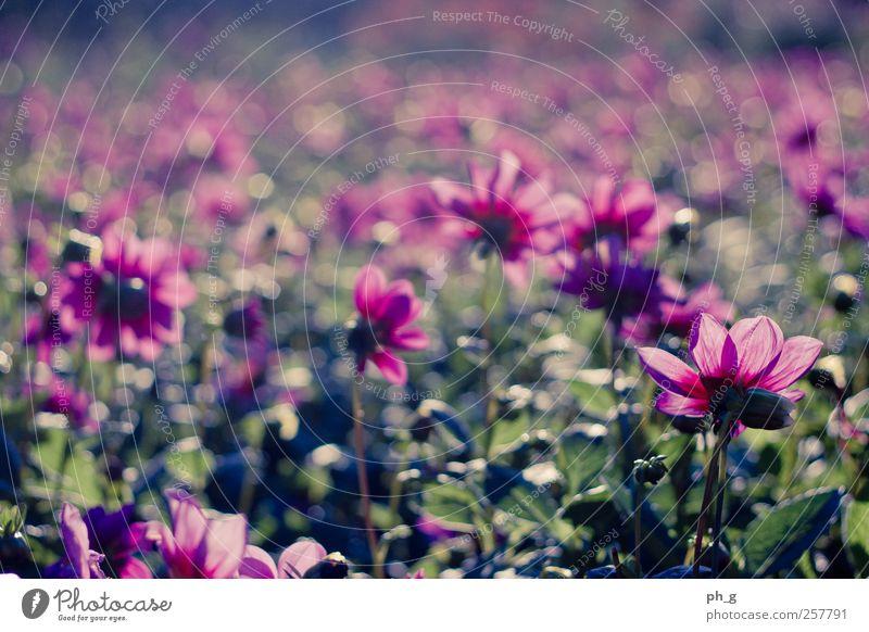 Bokeh-Felder Natur Pflanze Sommer Schönes Wetter Blume Blüte Dahlien Park ästhetisch Glück hell schön Kitsch natürlich positiv mehrfarbig grün rosa Stimmung