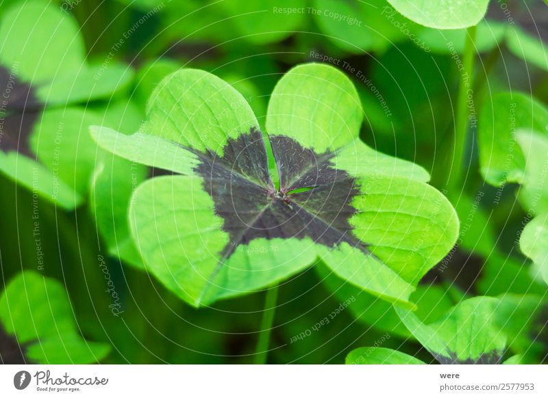 Close-up of a four-leaf lucky clover leaf Natur Blatt Gesundheit Glück planen Symbole & Metaphern Grünpflanze