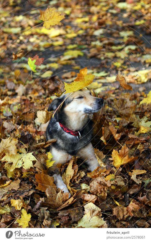 Tarnung Natur Pflanze Tier Herbst Blatt Park Wald Hund 1 warten Freundlichkeit schön niedlich weich braun gelb Zufriedenheit Willensstärke Vertrauen loyal