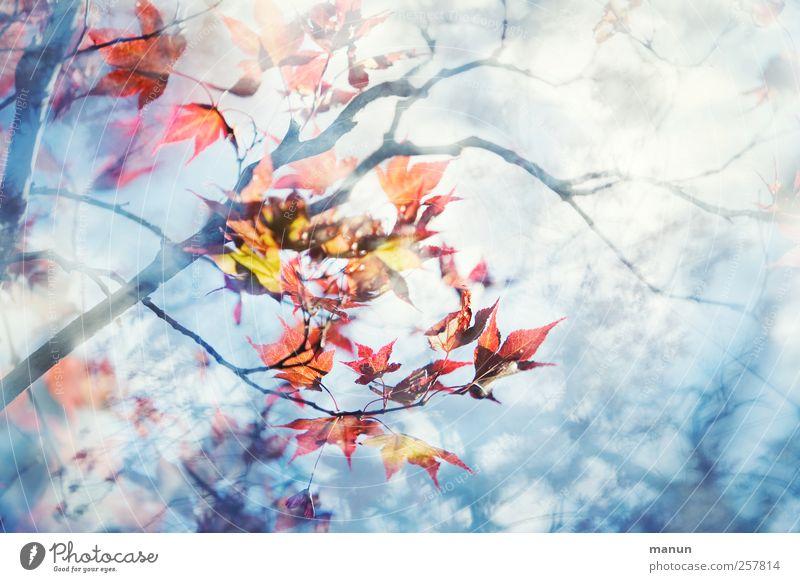 Ahorn Natur Herbst Baum Blatt Ahornzweig Ahornblatt Japanischer Ahorn außergewöhnlich hell natürlich blau rot Farbfoto Außenaufnahme Menschenleer