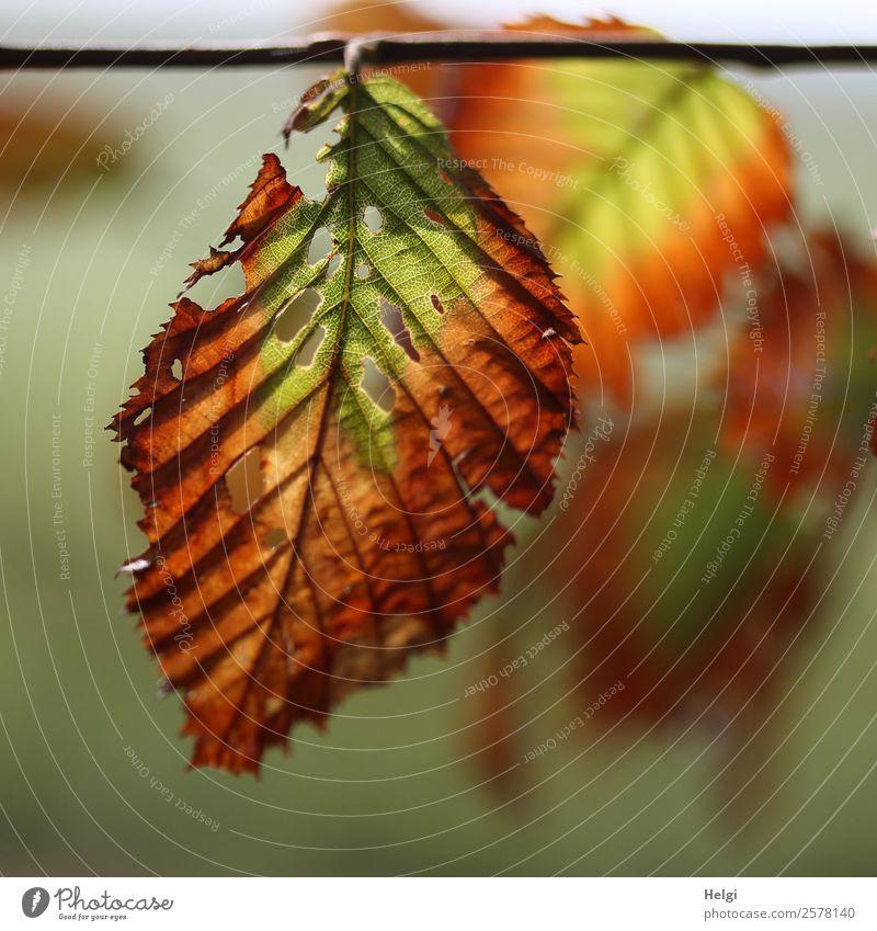 vergänglich Umwelt Natur Pflanze Herbst Schönes Wetter Baum Blatt Wildpflanze Blattadern Park hängen leuchten dehydrieren einzigartig klein natürlich braun gelb