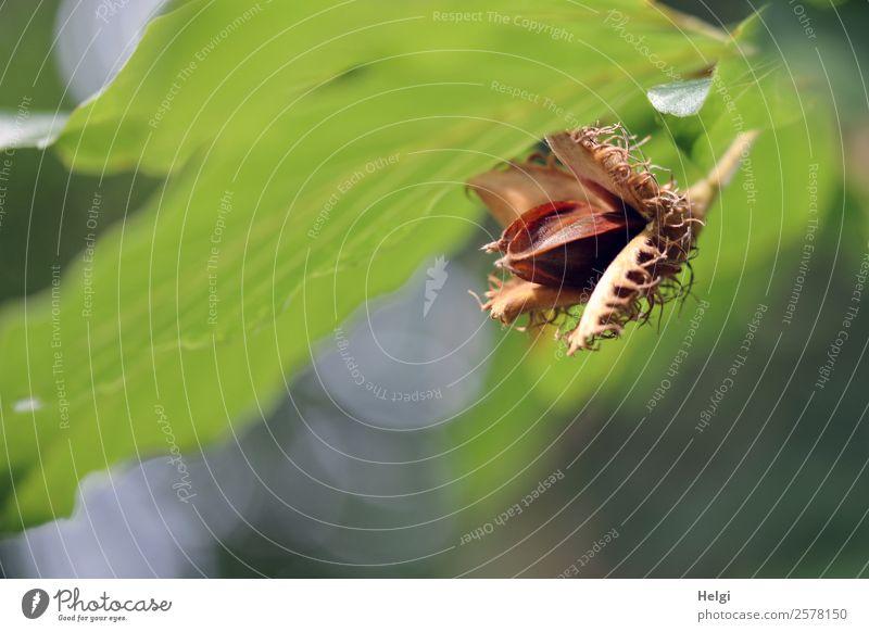 Bucheckern Umwelt Natur Pflanze Herbst Schönes Wetter Baum Blatt Wildpflanze Buchenblatt Park hängen dehydrieren Wachstum authentisch einzigartig klein