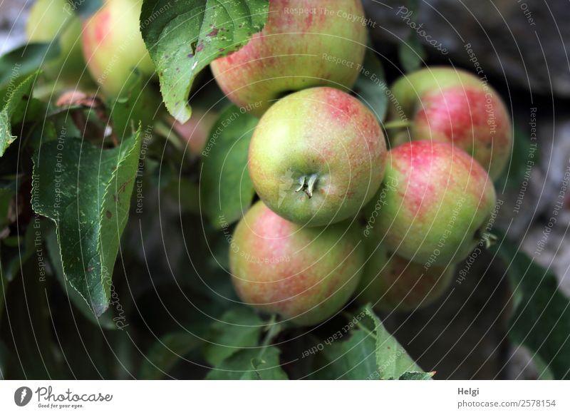 Bio-Äpfel Lebensmittel Frucht Apfel Ernährung Bioprodukte Vegetarische Ernährung Diät Umwelt Natur Pflanze Herbst Baum Blatt Nutzpflanze Apfelbaum Garten