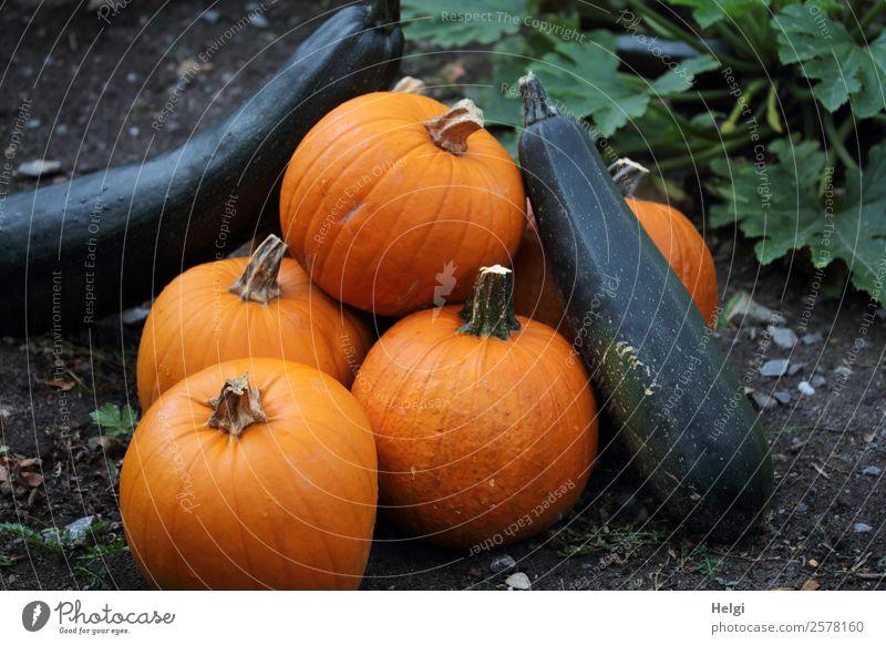 gute Ernte Lebensmittel Gemüse Kürbis Zucchini Ernährung Bioprodukte Vegetarische Ernährung Umwelt Natur Pflanze Blatt Nutzpflanze Garten liegen frisch