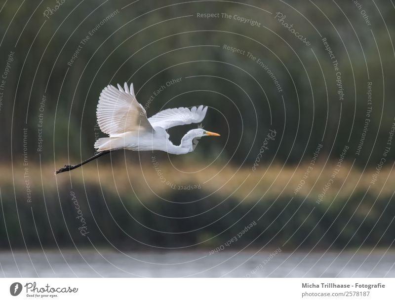 Fliegender Silberreiher Natur Tier Wasser Sonne Sonnenlicht Schönes Wetter Pflanze Baum Sträucher Seeufer Wildtier Vogel Tiergesicht Flügel Krallen Graureiher