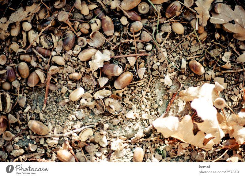 Eicheln Natur Pflanze Blatt Umwelt Herbst hell liegen Boden viele Schönes Wetter Hülle Nutzpflanze Eichenblatt