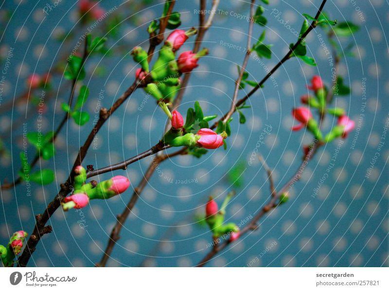 punkten Pflanze Frühling Blüte Grünpflanze Dekoration & Verzierung Blumenstrauß Blühend frisch nah blau grün rosa ästhetisch Duft Quitte Quittenblüte