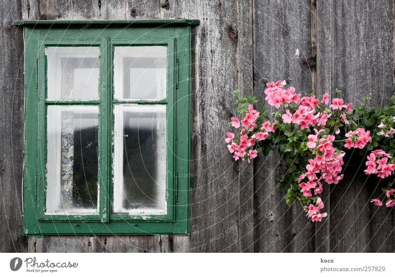 Blumenfenster alt grün Pflanze Haus Fenster Holz Blüte braun Zufriedenheit rosa Glas Fassade natürlich authentisch Dekoration & Verzierung