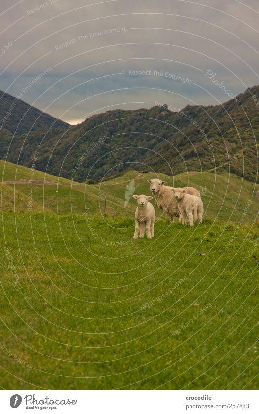 New Zealand 182 Natur Tier Umwelt Landschaft Berge u. Gebirge Gras Wetter Zufriedenheit Tierjunges Zusammensein beobachten Alpen Schaf Urwald Geborgenheit Herde