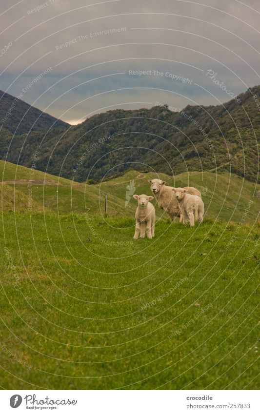 New Zealand 182 Umwelt Natur Landschaft Wetter Gras Urwald Alpen Berge u. Gebirge Tier Nutztier Schaf Lamm 3 Herde Tierjunges Tierfamilie beobachten