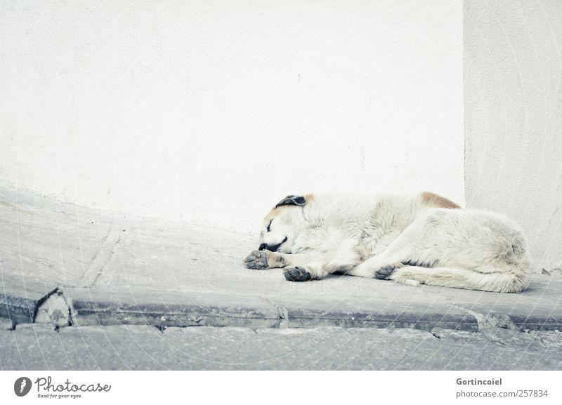 Köpek Hund Tiergesicht Fell Pfote 1 frei schlafen Herumtreiben Wand Straßenrand hell Müdigkeit Istanbul Türkei Farbfoto Gedeckte Farben Außenaufnahme