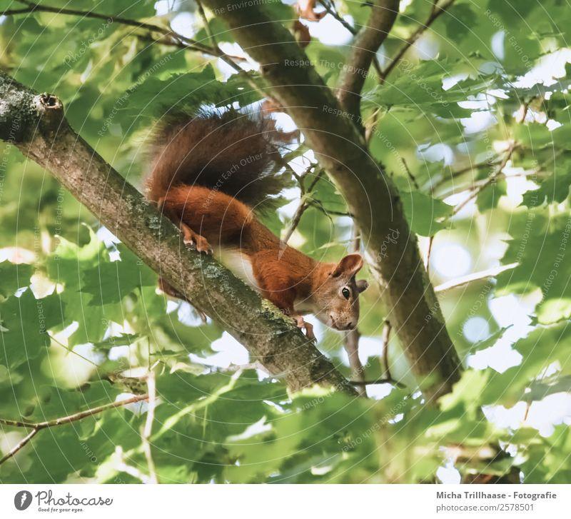 Neugieriges Eichhörnchen im Baum Natur Tier Sonnenlicht Schönes Wetter Blatt Wald Wildtier Tiergesicht Fell Krallen Pfote Nagetiere Schwanz 1 beobachten