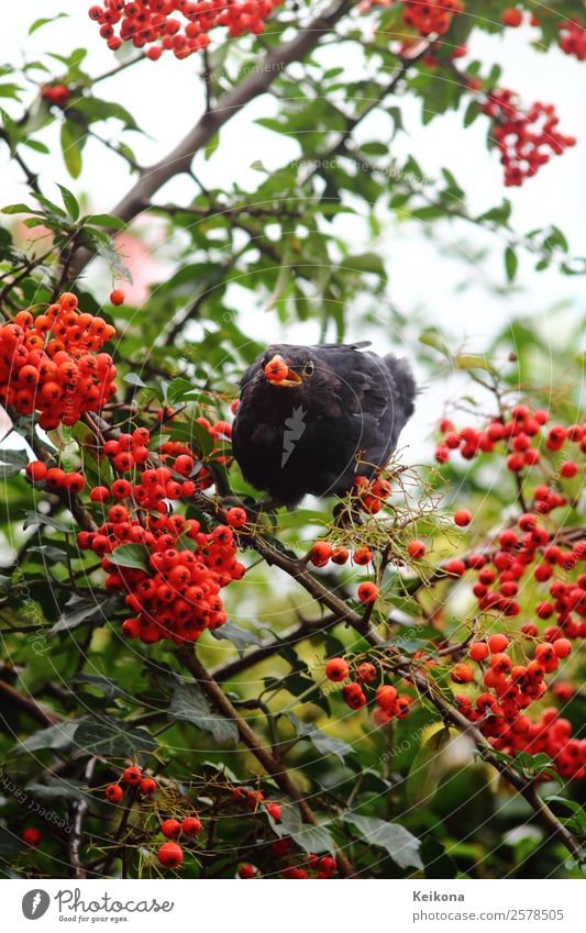Common blackbird eating rowan berries Herbst Pflanze Sträucher Nutzpflanze Tier Vogel Amsel 1 orange rot schwarz Beeren füttern Futter Vogelfutter Deutschland