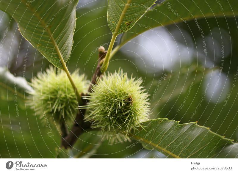 Esskastanien Frucht Maronen Vegetarische Ernährung Umwelt Natur Pflanze Herbst Baum Blatt Nutzpflanze Zweig Park Wachstum ästhetisch natürlich rund stachelig