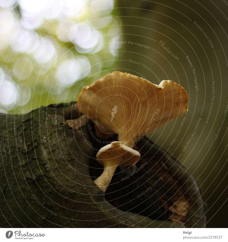 Pilze am Baum Umwelt Natur Pflanze Herbst Baumstamm Wald stehen Wachstum außergewöhnlich einzigartig natürlich braun gelb grau grün standhaft Leben Unschärfe