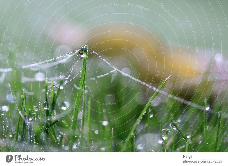 am seidenen Faden Umwelt Natur Pflanze Wassertropfen Herbst Gras Garten Spinngewebe glänzend hängen stehen authentisch außergewöhnlich einzigartig kalt klein