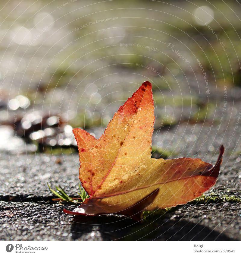 Herbstblatt Umwelt Natur Pflanze Schönes Wetter Gras Blatt Garten Stein glänzend leuchten liegen ästhetisch einfach einzigartig natürlich braun gelb grau rot