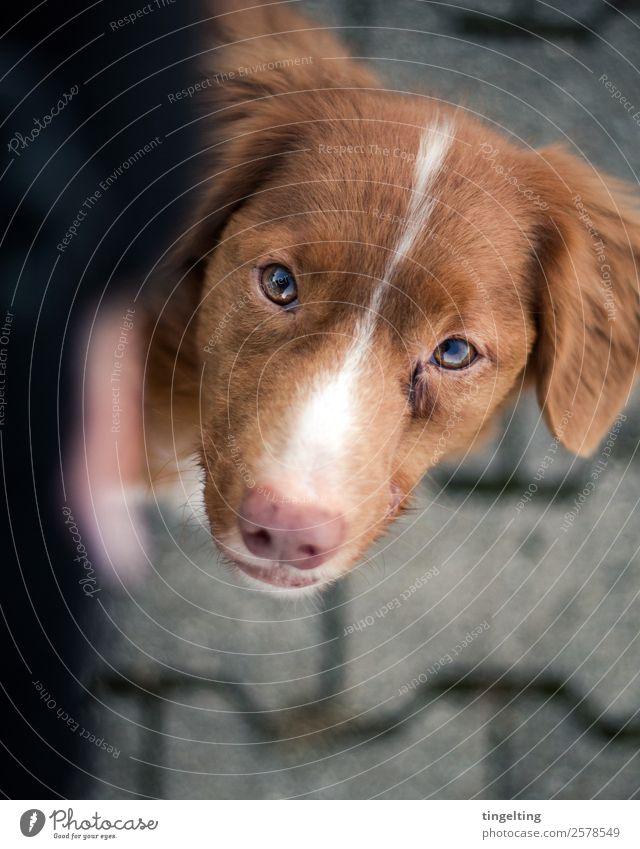 Fuß Natur Jacke Tier Haustier Hund Tiergesicht Fell 1 Denken gehen lernen Blick braun grau rot schwarz weiß Vertrauen loyal Tierliebe Treue Fuß laufen