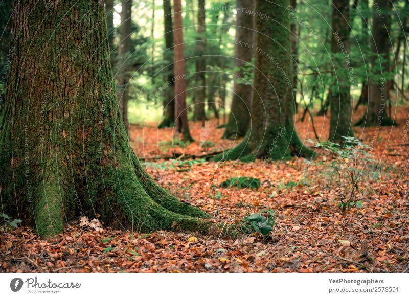 Bäume mit Moos und umgefallenen Herbstblättern Umwelt Natur Baum Blatt Wald grün orange Deutschland September herbstlich farbenfroh laubabwerfend Ökosystem