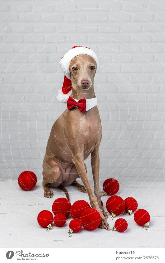 Hund mit Weihnachtsmann-Hut Glück schön Weihnachten & Advent Silvester u. Neujahr Freundschaft Tier Haustier 1 Freundlichkeit Fröhlichkeit lustig braun