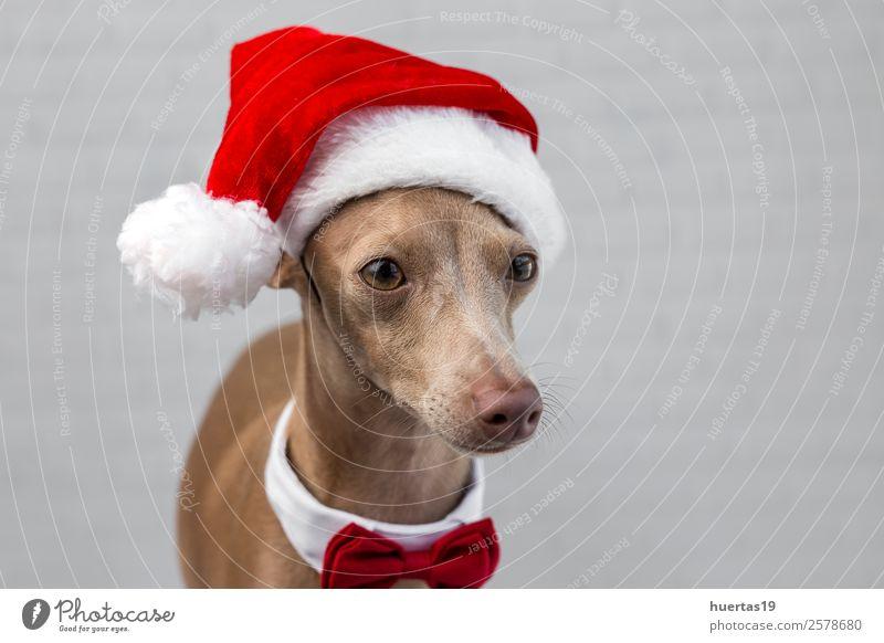 Hund mit Weihnachtsmann-Hut Glück schön Feste & Feiern Weihnachten & Advent Silvester u. Neujahr Freundschaft Tier Haustier 1 Freundlichkeit Fröhlichkeit lustig