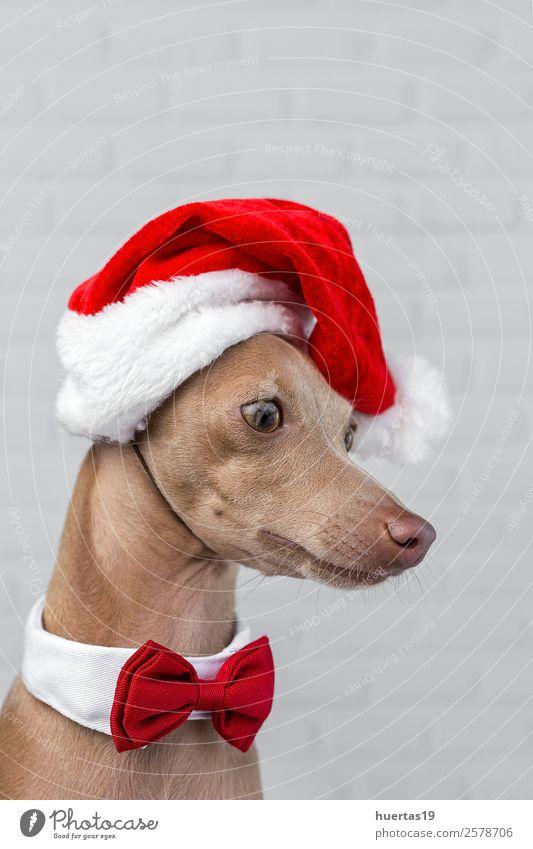 Hund mit Weihnachtsmann-Hut. Glück schön Feste & Feiern Weihnachten & Advent Silvester u. Neujahr Freundschaft Tier Haustier Freundlichkeit Fröhlichkeit lustig