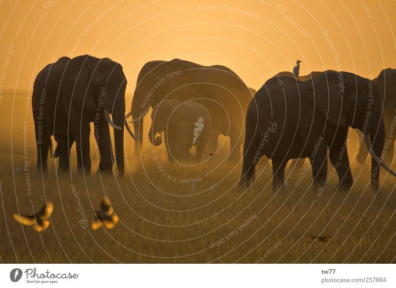 Elefanten der Masai Mara Natur Tier Sonnenlicht Safari Wildtier Vogel Elefantenherde Tiergruppe Herde Jagd Ferien & Urlaub & Reisen exotisch braun gold Stimmung