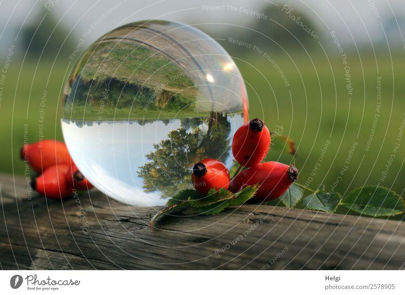 herbstliche Spielerei mit der Glaskugel Umwelt Natur Landschaft Pflanze Himmel Herbst Schönes Wetter Blatt Wildpflanze Hagebutten Dekoration & Verzierung Holz