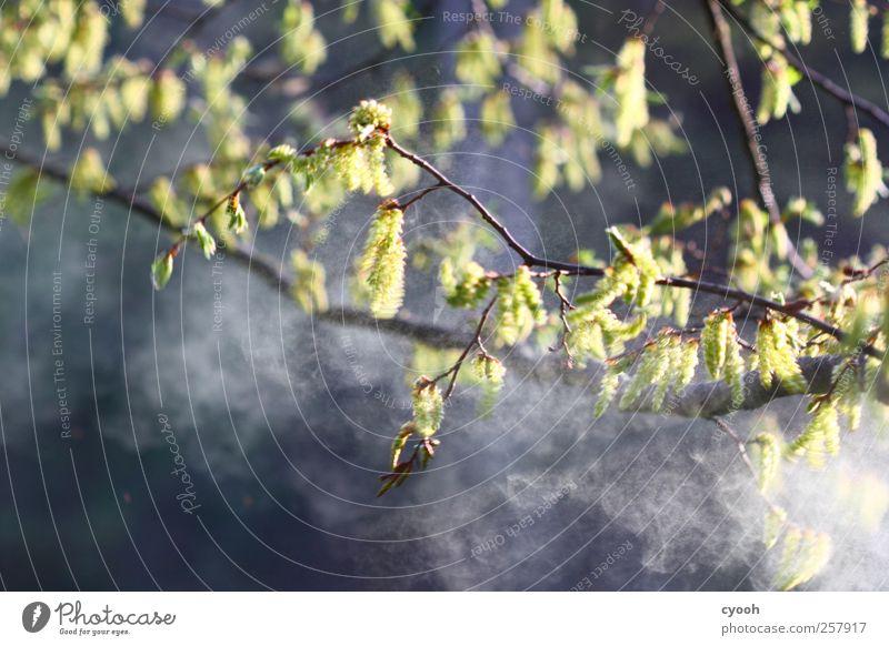 Pollenflug Natur Pflanze Luft Baum Blüte Blühend Staub niesen allergisch Allergiker Frühling Frühlingsgefühle fliegen Fortpflanzung Buche staubig Lebenskraft