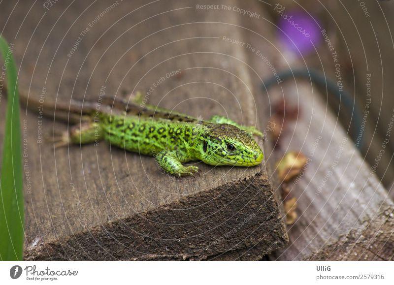 Männliches Exemplar der Zauneidechse, Lacerta agilis. Echse Tier Natur Umwelt Garten Wildtier Echte Eidechsen Reptil Männchen männlich Tierwelt 1 Konzentration