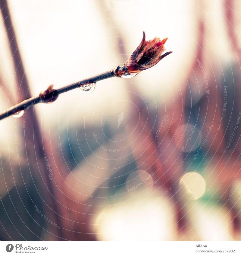 Tauwetter Umwelt Pflanze Wassertropfen Frühling Winter Wetter Regen Schnee Sträucher Blütenknospen Garten Park Tropfen rot Leben Hoffnung Traurigkeit Trauer