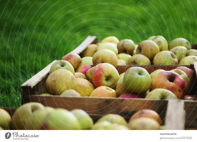 Moschtäpfel Natur grün rot Umwelt gelb Herbst Wiese natürlich Lebensmittel braun Frucht Feld Schönes Wetter süß lecker gut