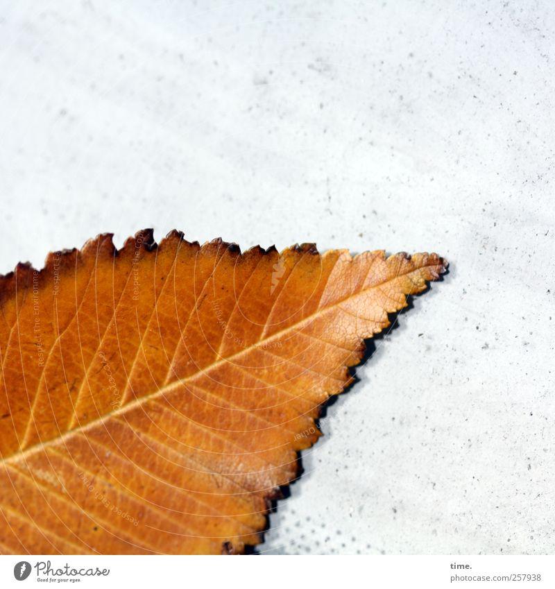 Sterbebett weiß Pflanze Blatt gelb PKW braun glänzend diagonal Windschutzscheibe Buchenblatt
