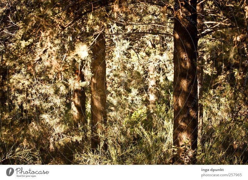 Waldblick Umwelt Natur Landschaft Pflanze Sommer Herbst Baum Wildpflanze Nadelwald Israel Naher und Mittlerer Osten gruselig trocken Wärme braun grün erleben