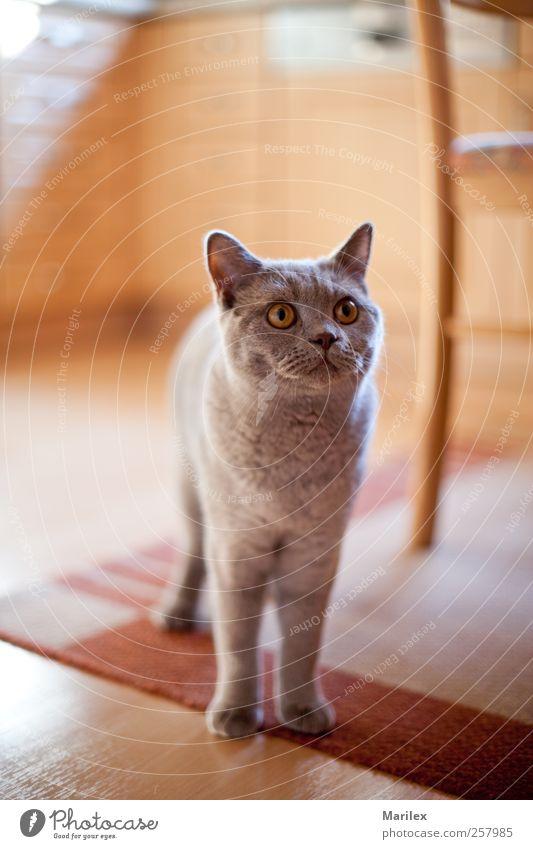 Unser Süßer Tier Haustier Katze 1 stehen kuschlig niedlich schön Farbfoto Innenaufnahme Nahaufnahme Detailaufnahme Tag Licht Sonnenlicht Unschärfe