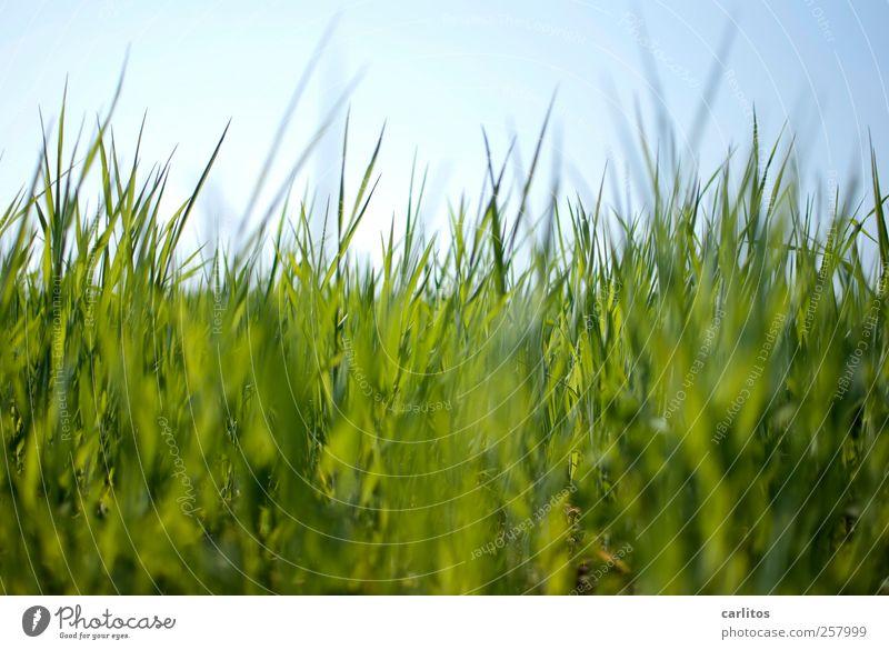 Zeckenperspektive Umwelt Natur Pflanze Himmel Schönes Wetter Gras Garten Park Wiese Wachstum blau grün Farbfoto Außenaufnahme Tag Sonnenlicht
