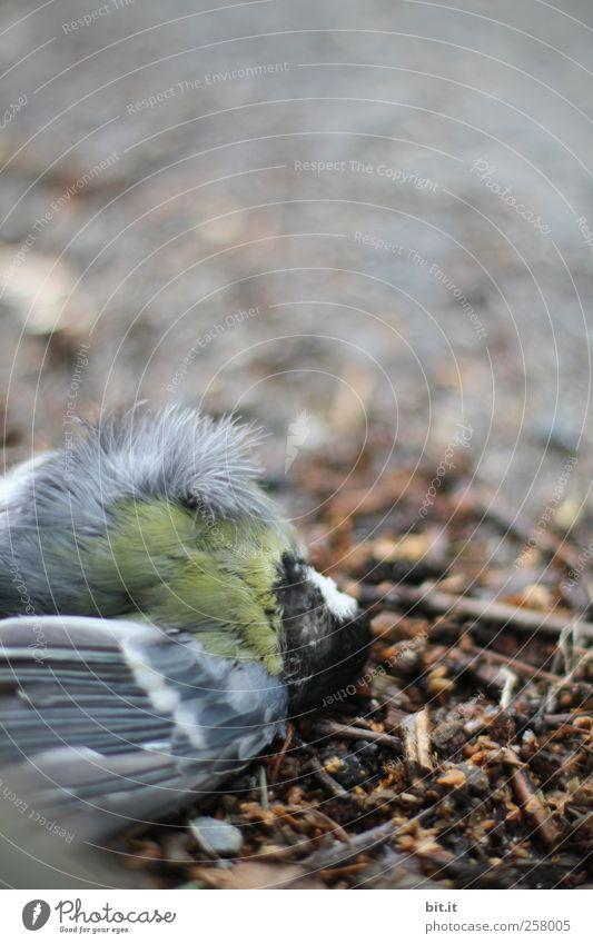 Abwärtsstrudel Natur Tier Tod Umwelt Traurigkeit braun Vogel Erde dreckig liegen gefährlich Bodenbelag Flügel Trauer Feder Vergänglichkeit
