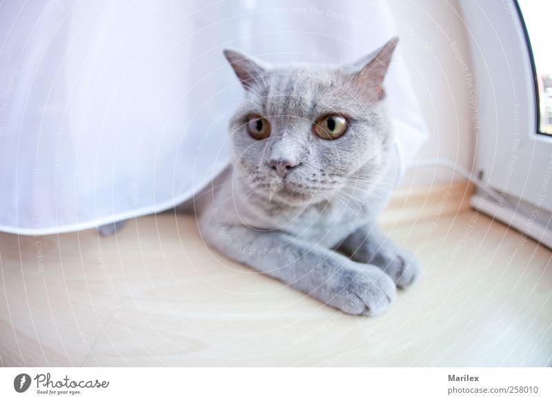 Katze + Schleier Tier Haustier 1 beobachten liegen Blick träumen Traurigkeit warten Farbfoto Gedeckte Farben Innenaufnahme Nahaufnahme Menschenleer Tag Licht